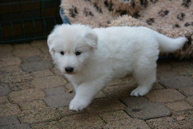 Chiens-A-donner-femelle-berger-blanc-suisse-32000-AUCH