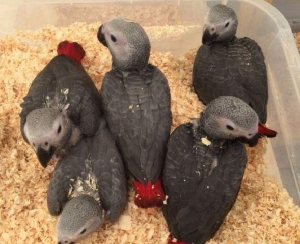 oiseaux a vendre bebe perroquet gris du gabon 17000 rochelle la. Black Bedroom Furniture Sets. Home Design Ideas