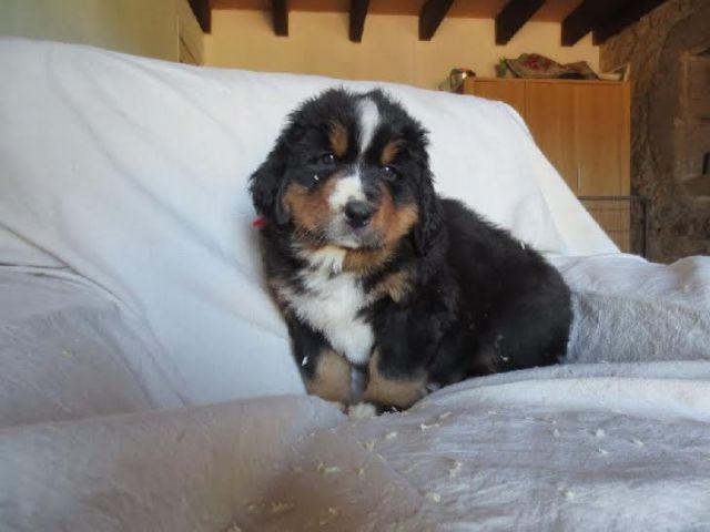 chiens a donner chiot bouvier bernois femelle 59000 lille. Black Bedroom Furniture Sets. Home Design Ideas